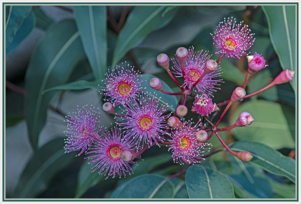 Pink Bloodwood - Corymbia ptychocarpa