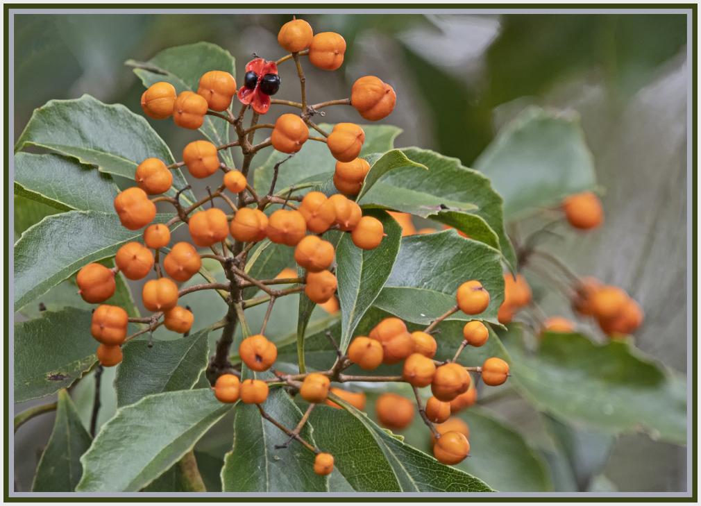 orange berry - auranticarpa rhombifolia - Australi