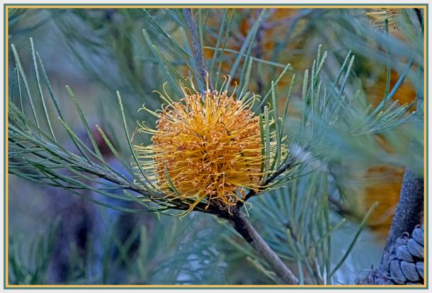 Golden Banksia in a ball shape