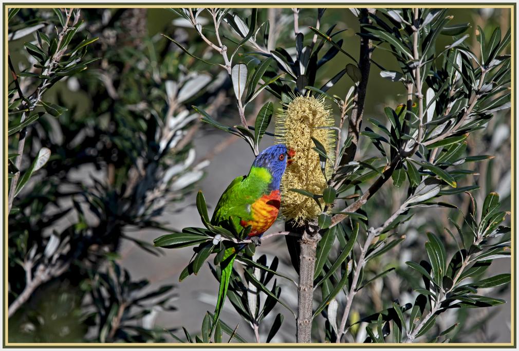 rainbow lorikeet and Banksia