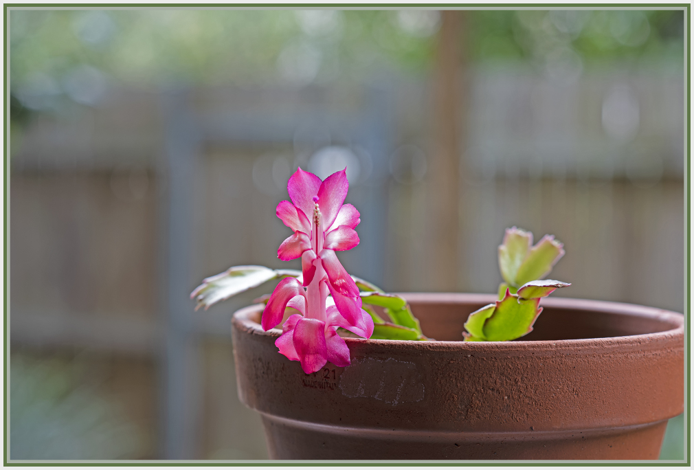 single red christmas cactus flower on a pot