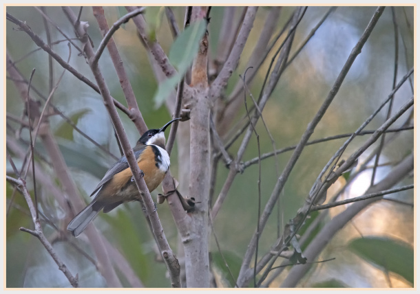 eastern spinbill