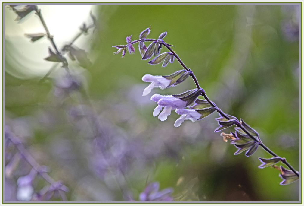 purple and white flower - silvsia lwucantha