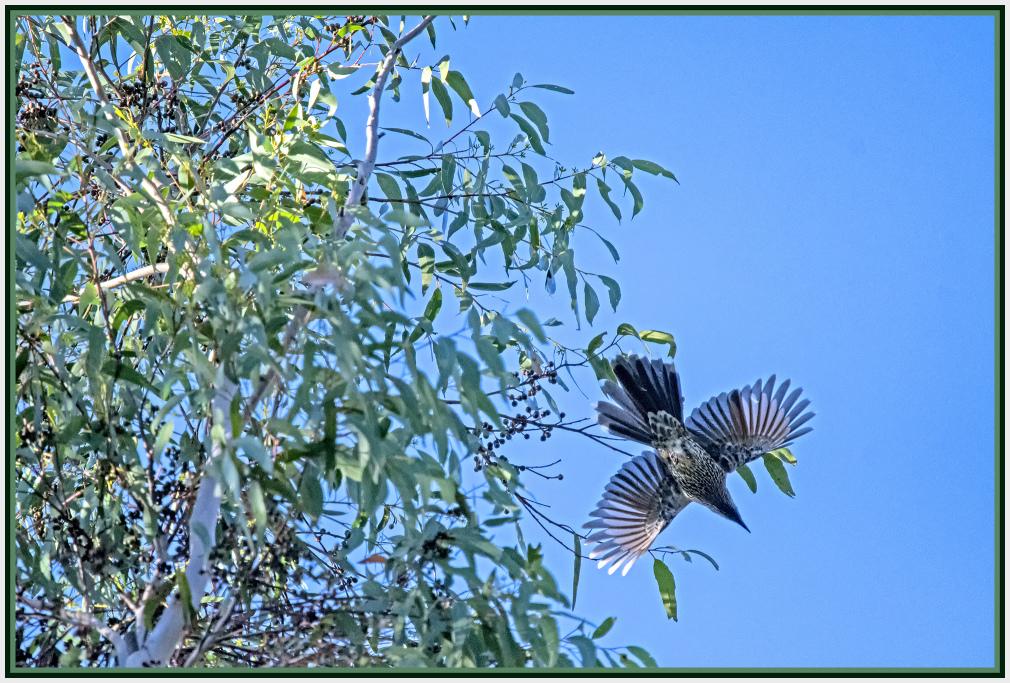 Flying Little Wattle Bird
