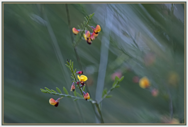 red and yellow pea flower - dillwynia