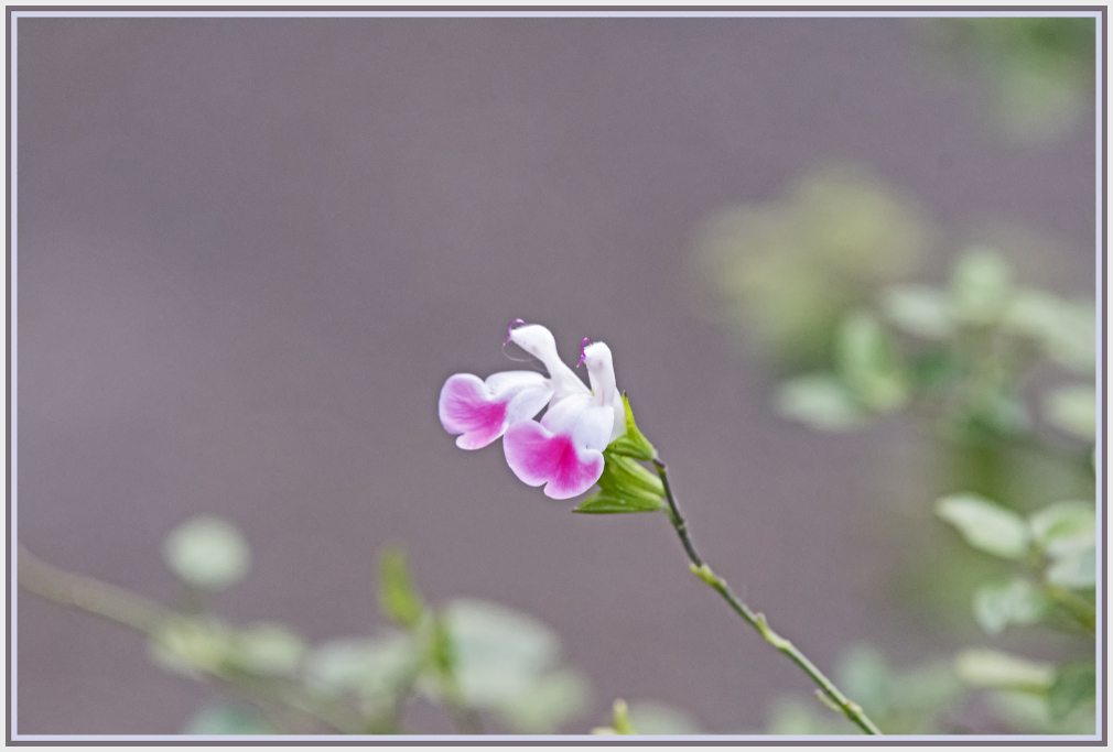 Salvia microphylla - pink and white sage flower
