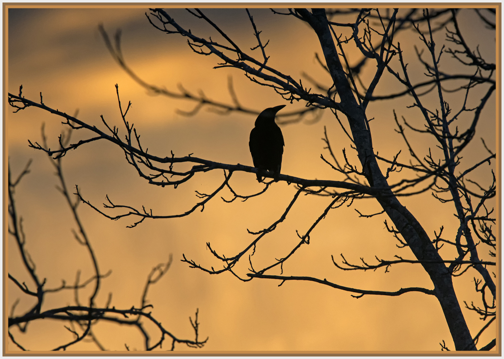 magpie in winter sunset