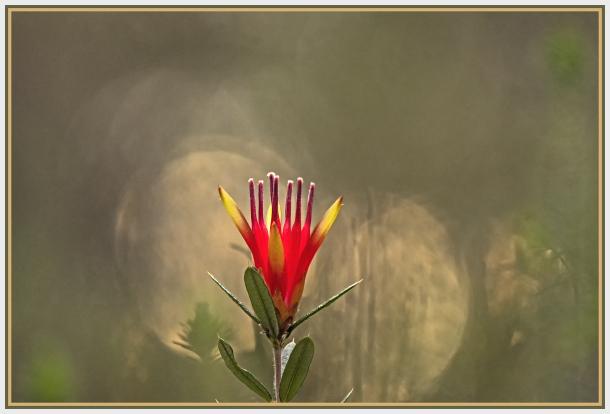 red flower-mountain devil-Lambertia formosa