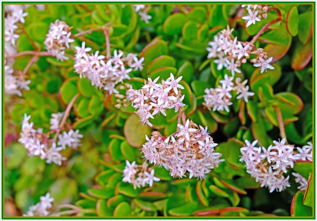 light pink succulent flower - Crassula Ovata