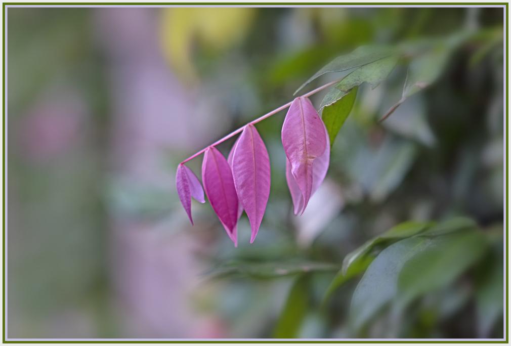 pink leaves of lilli pilli