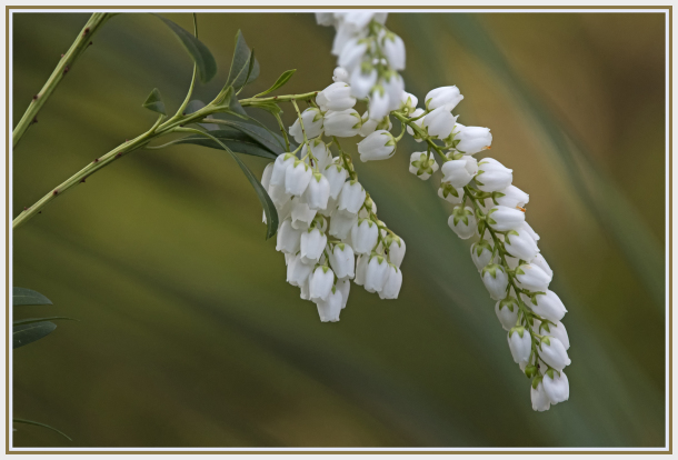 white flower - Pieris japonica