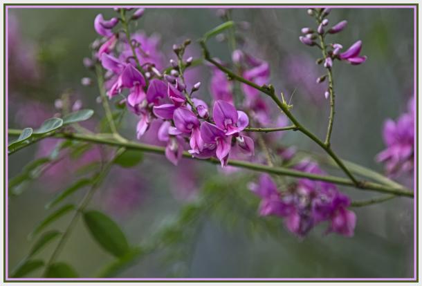 fabaceae pink flowers