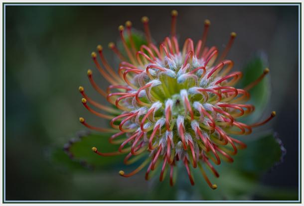 rigoletto flower