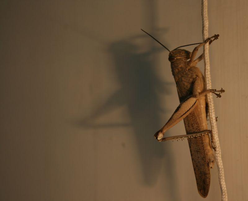 Dangle Grasshopper