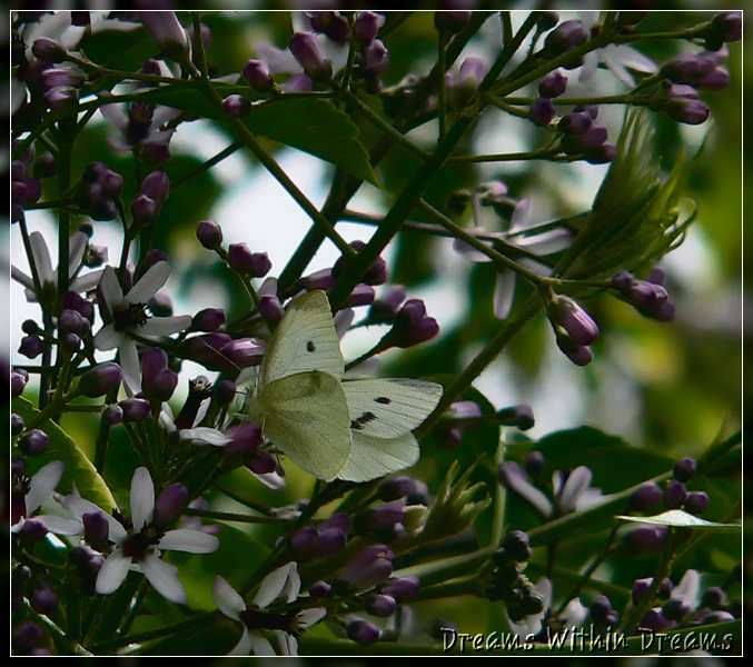 White_Butterfly, Pieris_rapae