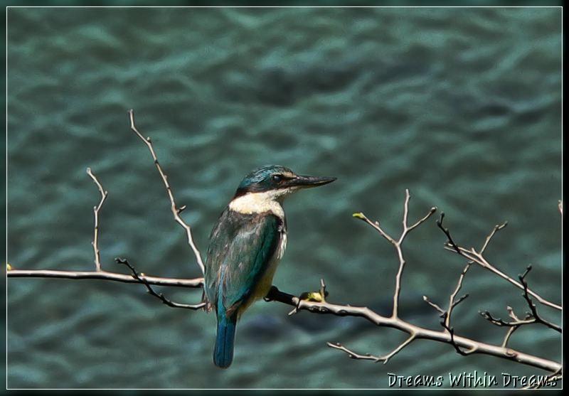 Kotare,kingfisher,Halcyon-sanctus