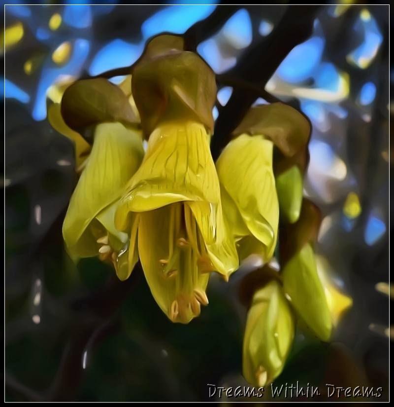 Kowhai, Sophora spp.