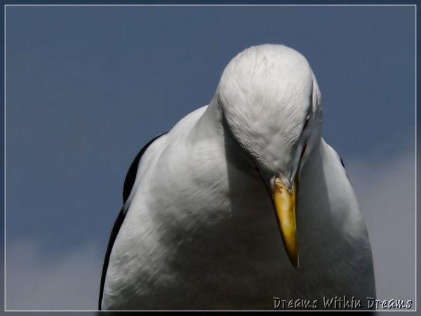 black backed gull karoro Larus dominicanus