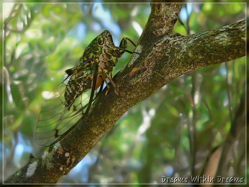 Amphipsalta cingulata, Cicada