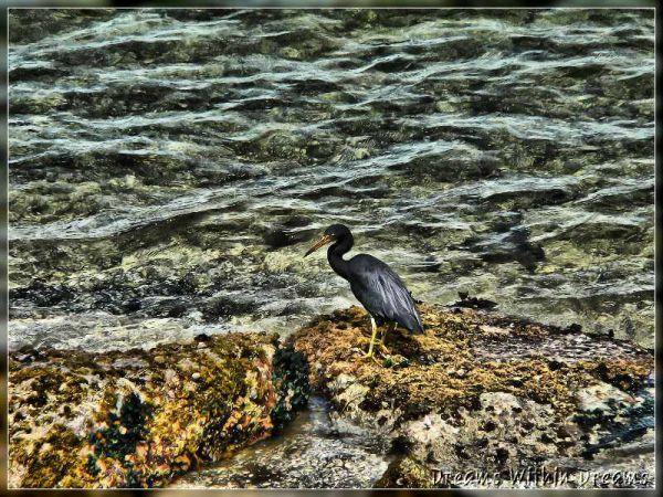 Reef Heron, Egretta sacra