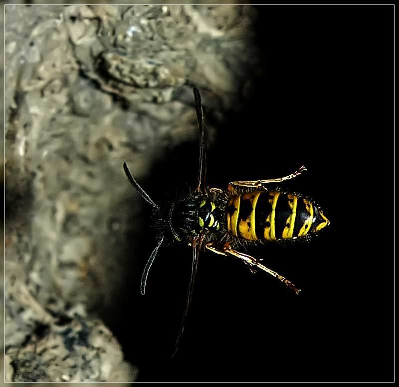 Common Wasp 2, Vespula vulgaris.