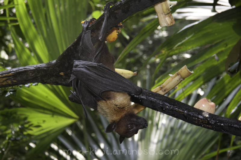 Fruit Bat II