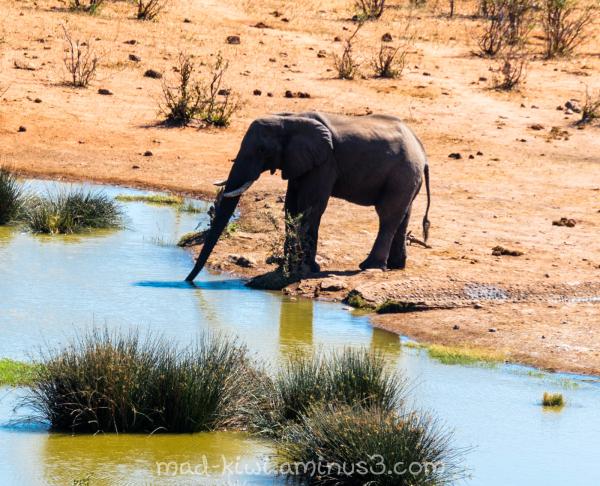 Elephant Drinking I