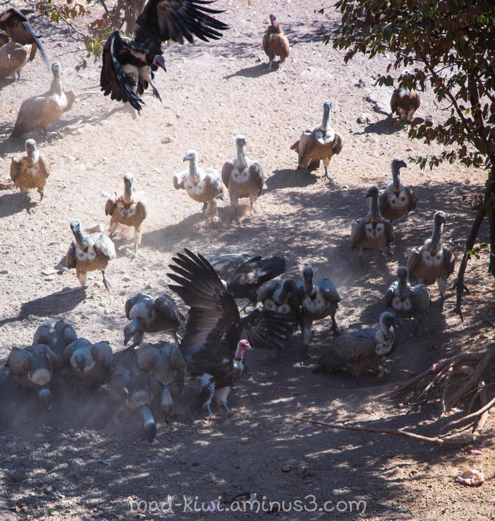 Vulture Feeding II