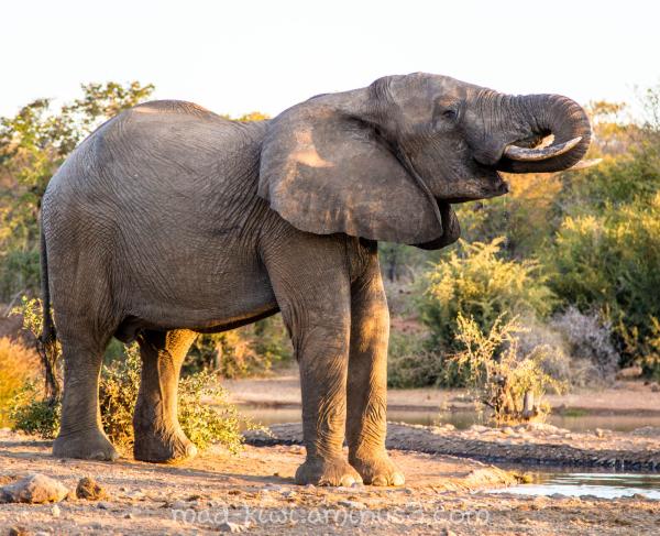Elephant VIII