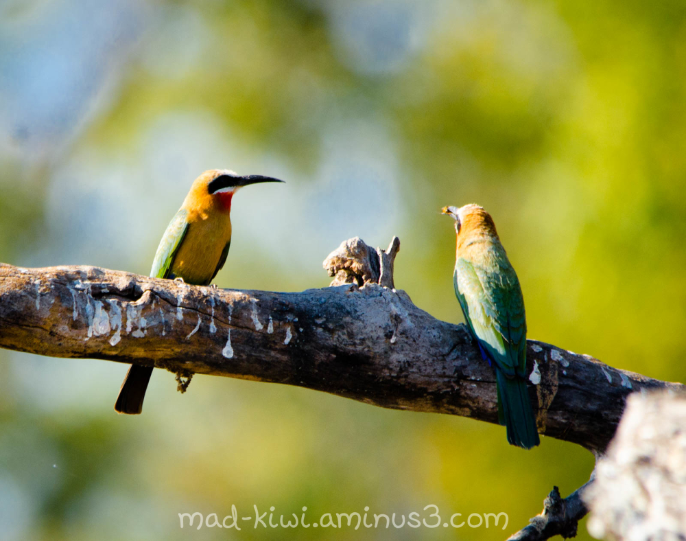 White-fronted Bee-eater II