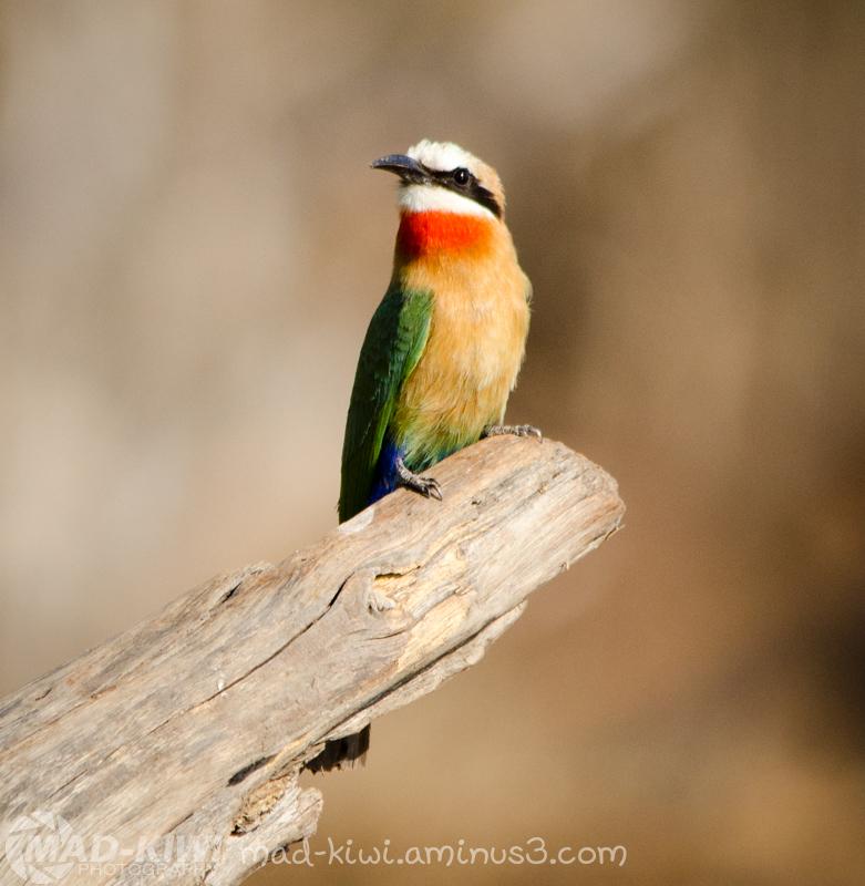 White-fronted Bee-eater V
