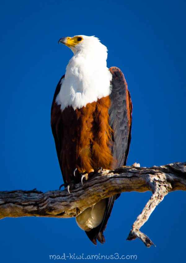 African Fish-Eagle I
