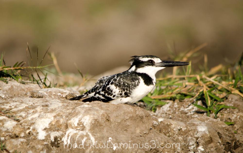 Pied Kingfisher V