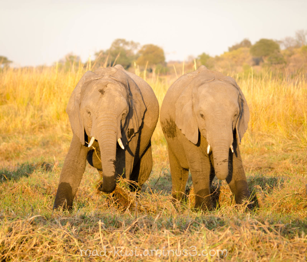 Elephants VII
