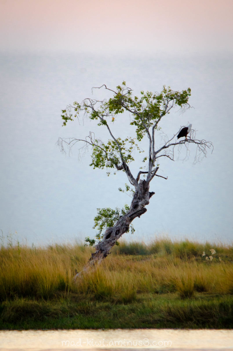 African Fish-Eagle IV