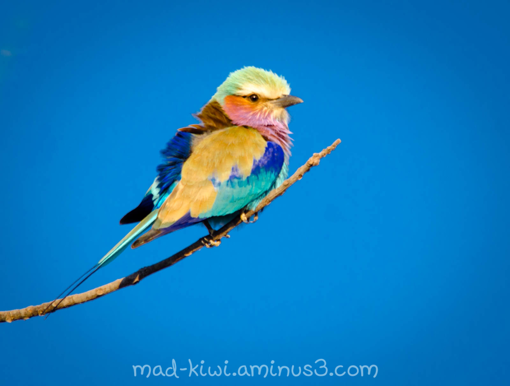 Lilac-Breasted Roller I