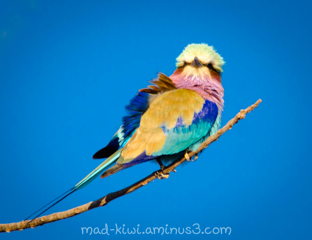 Lilac-Breasted Roller II