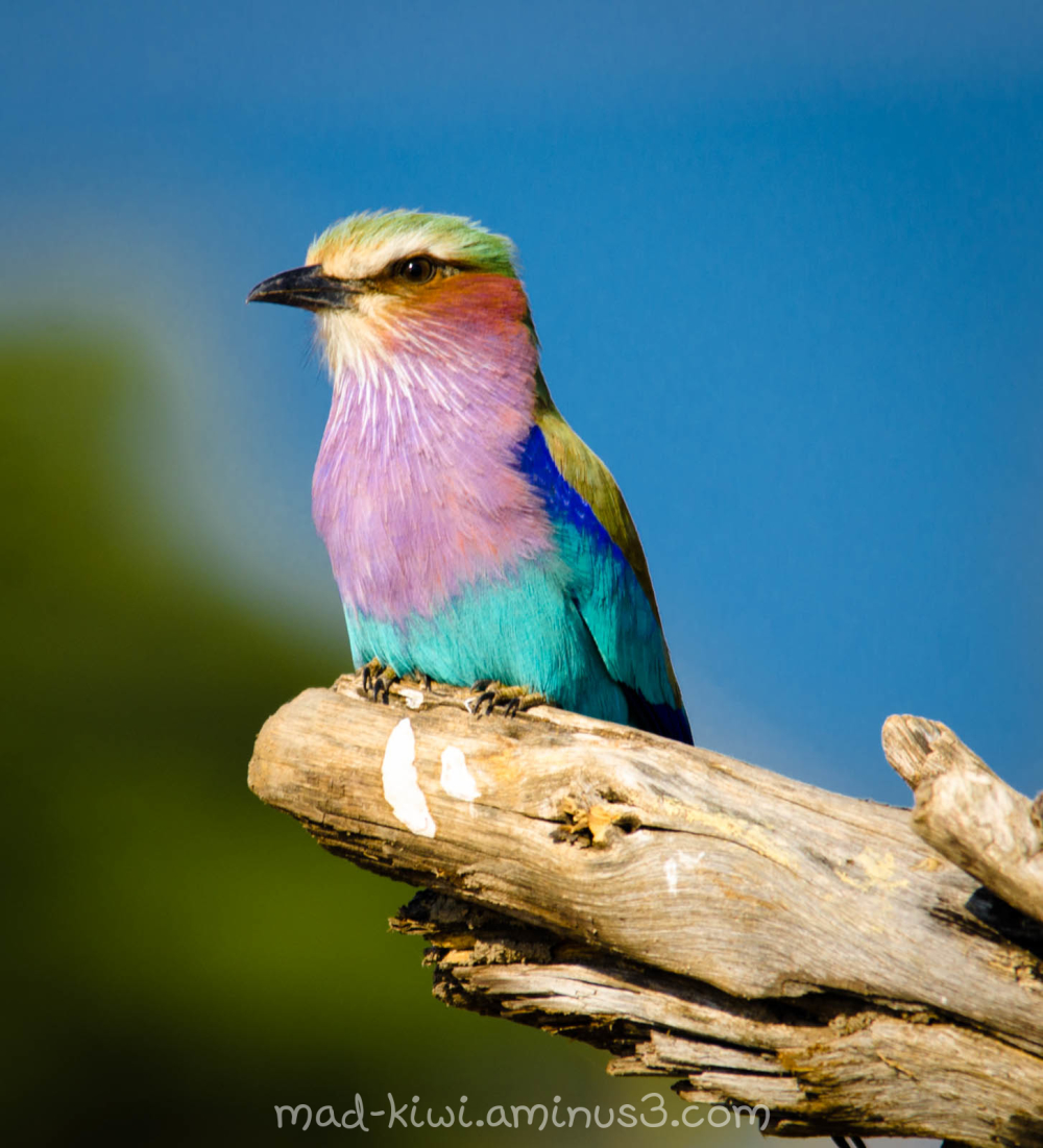 Lilac-Breasted Roller VI