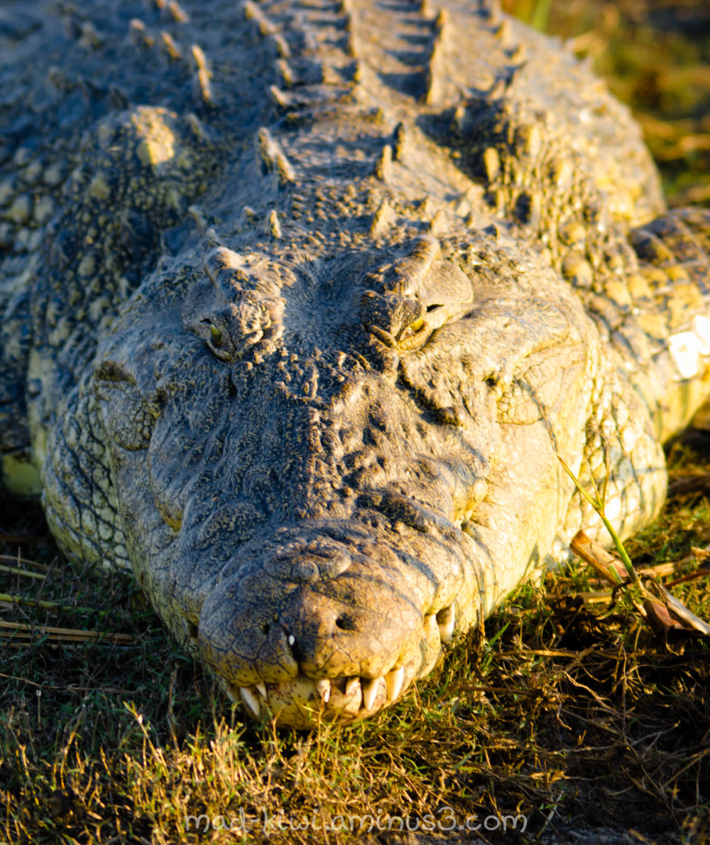 Crocodile VI