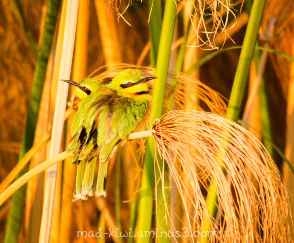 Little Bee-eaters II