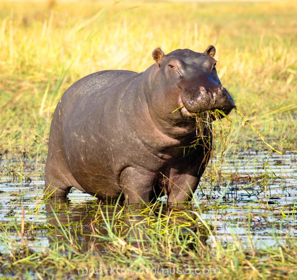 Hippo XIII