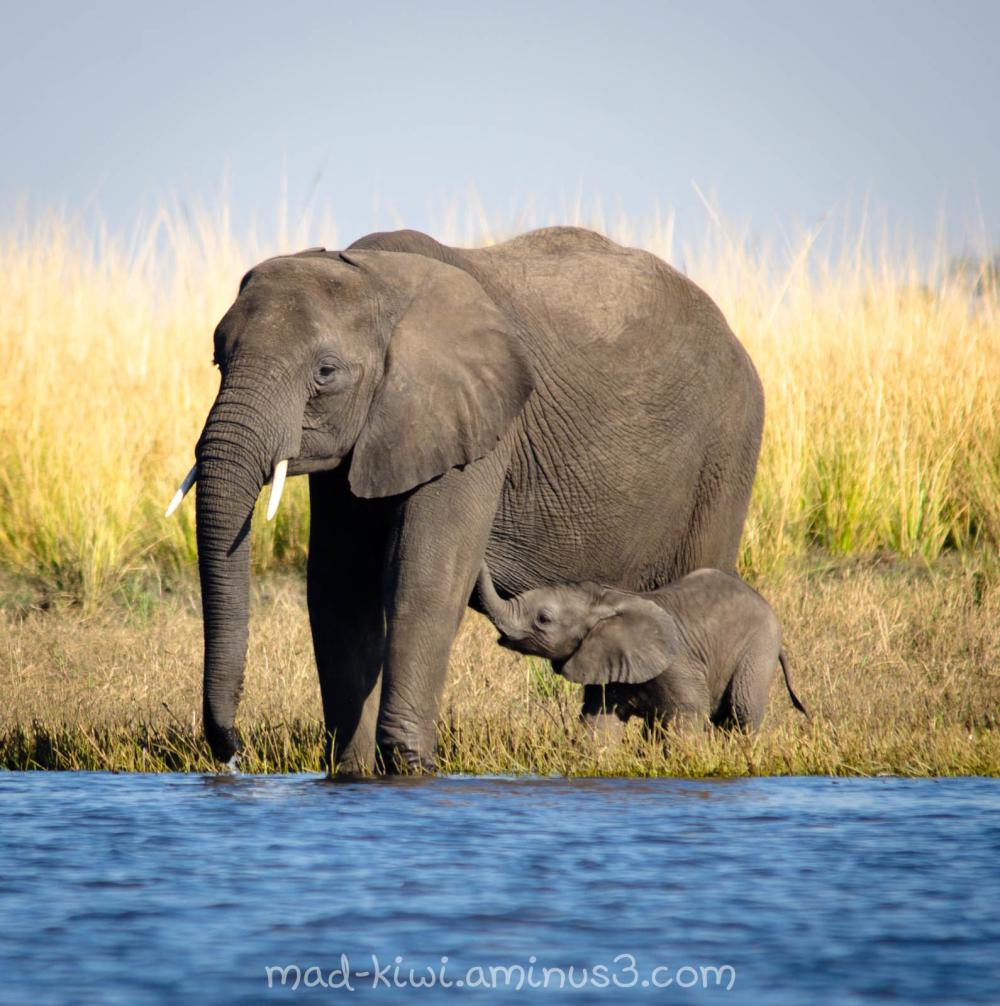 Elephants IX