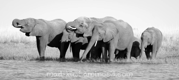 Elephants XI