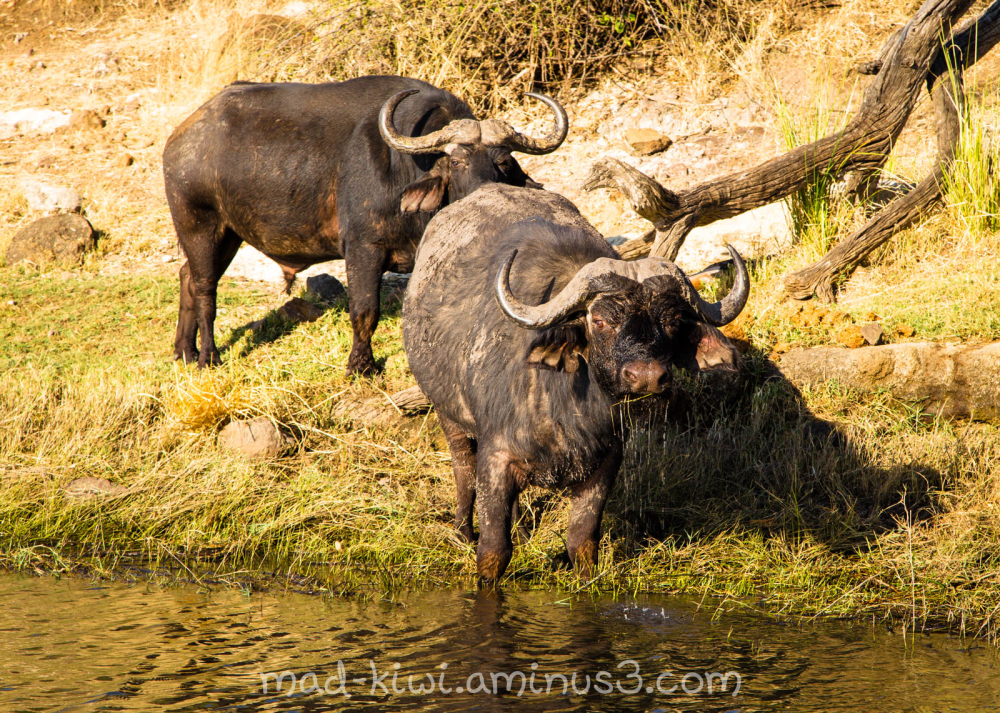Cape Buffalo III
