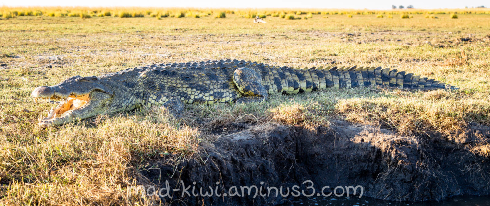 Crocodile VIII