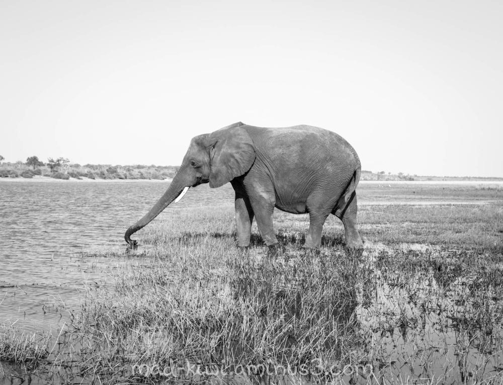 Elephant XVI