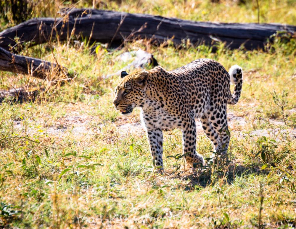 Leopard V