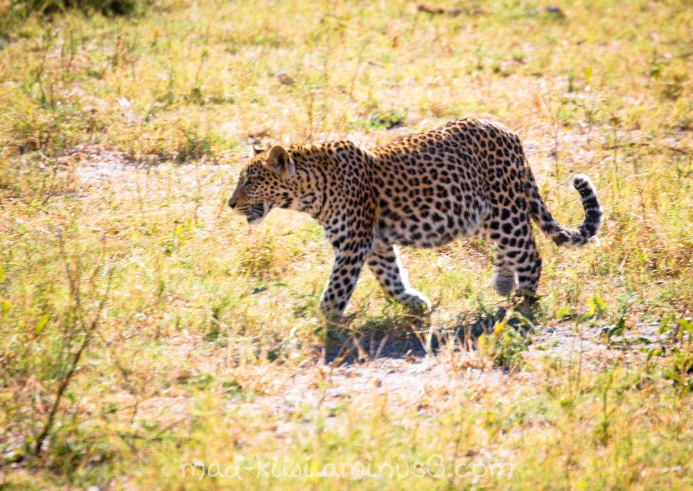 Leopard VI
