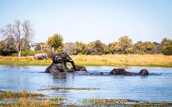 Elephants XXIV