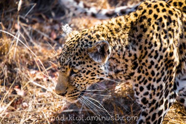 Leopard X